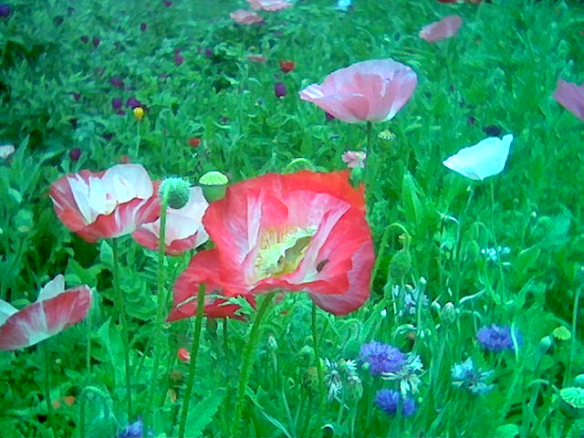 Texas garden poppies by Kay Bell